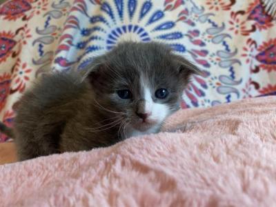 Essys Kittens - Scottish Fold - Gallery Photo #1
