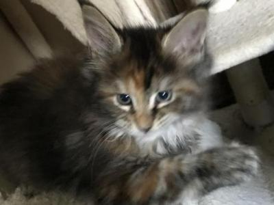 April - Maine Coon - Gallery Photo #1