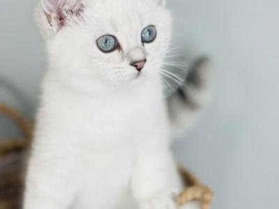 Gracie  Color Silver Sheded - British Shorthair - Gallery Photo #1