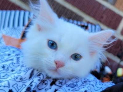 TICA Blue Eye White Ragdoll - Ragdoll - Gallery Photo #1