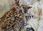 Gorgeous bengal kittens marble spotted or rosetted - Kitten For Sale - 5917573323252-5480.jpeg