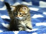 Galaktika - Cat For Sale - 593ce987a6563-A_Galaktika8.JPG