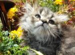 Gorgeous Sweet Persian Kittens - Cat For Sale - 59c81237e925e-59b57d159811c-0910171224b.jpg