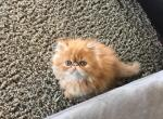 Available exstreme profile purebred Persian - Kitten For Sale - 5a35054d621f6-073D1D5A-66FA-4F01-9C44-46F7466D31E0.jpeg