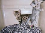 Egyptian Mau Kittens - Egyptian Mau Kitten For Sale - Toronto, Ontario, CA