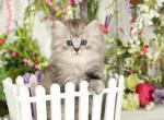 Ozzie - Persian Cat For Sale - Unionville, MO, US