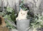 Roo - Persian Cat For Sale - Unionville, MO, US