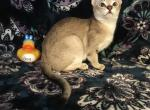 Green bean - Singapura Cat For Sale - Siler City, NC, US