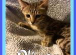 Bengal Munchkin - Kitten For Sale - 5b5e912cc0660-D41B24D8-D464-42F9-B129-DC027D0D2BD7.jpeg
