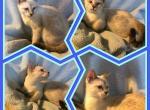 Max - Kitten For Sale - 5b661c76245a8-7E01D49F-8A65-4F0C-87F2-37BD7B7E3D3D.jpeg