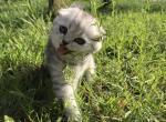 Savanna Chinchilla color Scottish fold kitten - Kitten For Sale - 5b6dea0b50235-IMG_2079.JPG