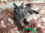 Darius - Maine Coon Cat For Sale - Chernivtsi Oblast, UA