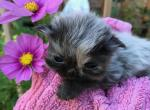 Adorable and Sweet litter of Persian kittens - Persian Cat For Sale - Fordland, MO, US