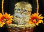 Stitch Scottish fold tiger color - Kitten For Sale - 5bf2f5848db09-IMG_1466.JPG