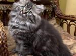 Persian and Himalayan Kittens - Cat For Sale - 5bf87bb031723-JYoYlfBFtL.jpg