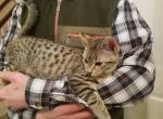 Clara F3 - Savannah Cat For Sale - New Holland, PA, US