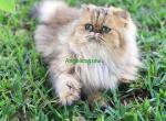 Gorgeous Goldens - Persian Kitten For Sale -