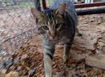 Wyatt - Savannah Cat For Sale -