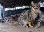 Dillon - Kitten For Sale - 5c61c8b6a1ba5-7-mth-boy-2-dillon-15.JPG
