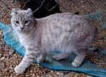 Sierra - Kitten For Sale - 5c621cd3c5cd9-8-mth-girl-2-Sierra-6.JPG