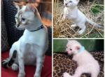Snow Bengals kitten - Bengal Kitten For Sale/Service -