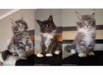 Elite Maine Coon beautiful kittens rare color - Kitten For Sale - 5c9c1d7129d3d---------------------------------1-.png