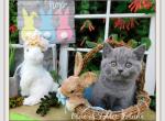 British Shorthair Litter O P Q R - British Shorthair Kitten For Sale - Texarkana, TX, US