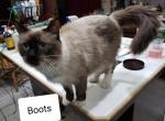 Ruby & Boots - Kitten For Sale - 5cd8894190e11-20190331_221227.jpg