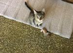 Mommas kittens - Kitten For Adoption - 5cf80685000cc-Grey--kitty-2019.jpg
