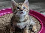 BATMAN - Bengal Cat For Sale - Dallas, TX, US
