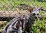 Zander - Kitten For Sale - 5d1bb33a9e96e-6-mth-boy-4-4.JPG