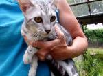 Lotus - Kitten For Sale - 5d1cf501ace43-6-mth-girl-1-3.JPG