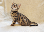 Parmesan - Bengal Cat For Sale - Merton, WI, US