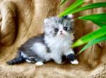 Romeo of Bellé Fleur Persians - Kitten For Sale - 5d37acdecd1ec-fullsizeoutput_2c90.jpeg