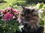 Absolutely Adorable Persian kittens - Persian Cat For Sale - Fordland, MO, US