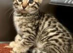 Bengals Bengals Bengals - Kitten For Sale - 5d3fea67861c4-2BC2813D-7BE0-4A95-B3A9-B2BE53D3DB11.jpeg