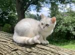 Taylor - Scottish Straight Cat For Sale - NY, US