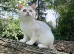Tyson - Scottish Straight Cat For Sale - NY, US