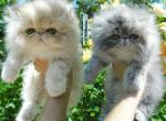 Creamy and gray Persian with sweet exotic faces - Persian Kitten For Sale -