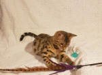 Cole - Bengal Cat For Sale - Merton, WI, US