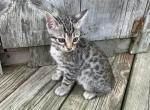 Blue collar silver male - Kitten For Sale - 5d52dd406966f-E9E2C250-D094-4E32-B3EB-D3691C9253F9.jpeg