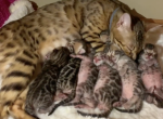 Registered Bengals  Bengaltime - Bengal Kitten For Sale -