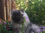 Adorable Persian kittens - Persian Cat For Sale - Fordland, MO, US