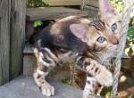 Congo - Kitten For Sale - 5d5dae56c242a-20190820_184314.jpg