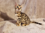Spock - Bengal Cat For Sale - Merton, WI, US