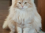 RITA - Siberian Cat For Sale/Retired Breeding - Huntington, WV, US