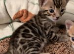 Little Lap Leopards - Kitten For Sale - 5d6a05066be66-Screen-Shot-2019-08-30-at-06.07.46.png