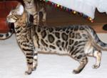Purebred Bengal Kittens - Bengal Kitten For Sale - Kalama, WA, US