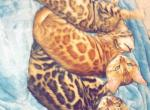 Annabel - Bengal Cat For Sale - Boston, MA, US