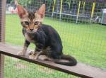 Kenya - Kitten For Sale - 5d73ab2fbbc09-20190902_141229.jpg